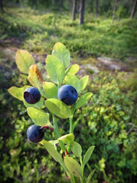 Årets första blåbär