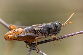 Para ampliar Paracaloptenus bolivari hacer clic