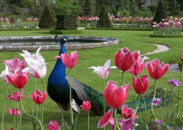 Павлин в саду фото 147