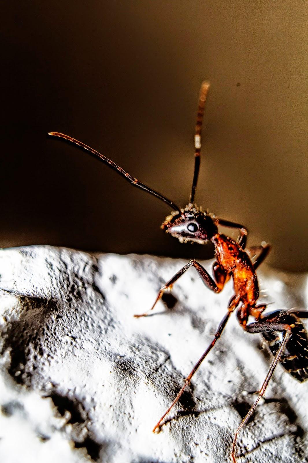 fotografía de aproximación de una hormiga retocada en photoshop