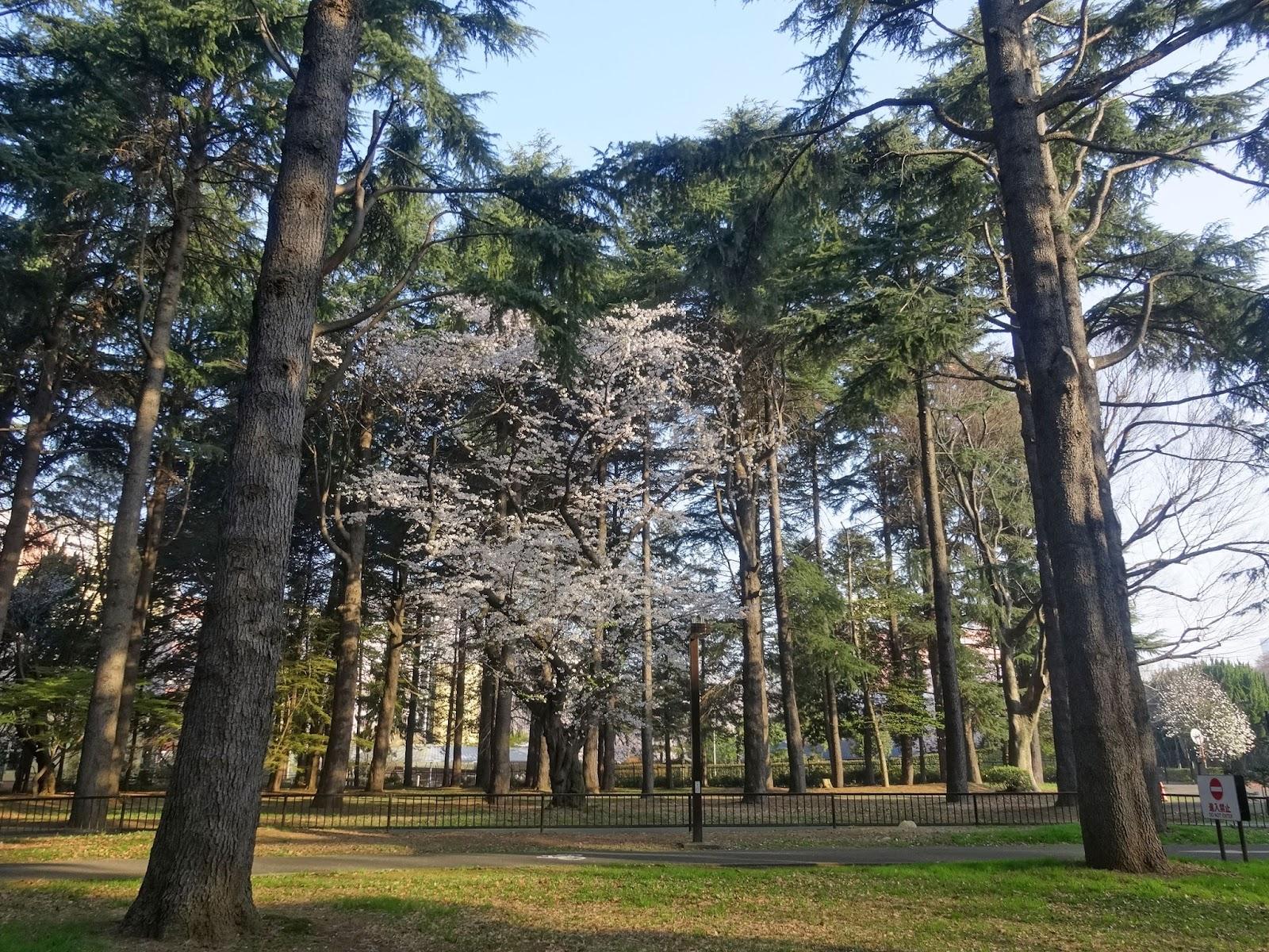 桜,森林,代々木公園〈著作権フリー画像〉Free Stock Photos