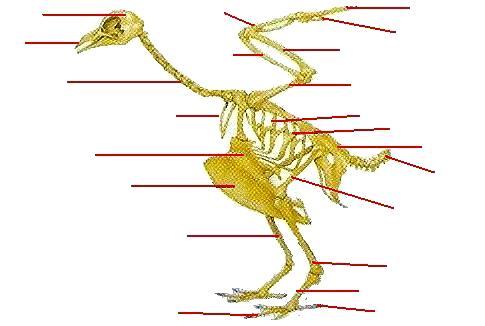 Dibujo del esqueleto óseo de las aves para colocar los nombres de sus partes