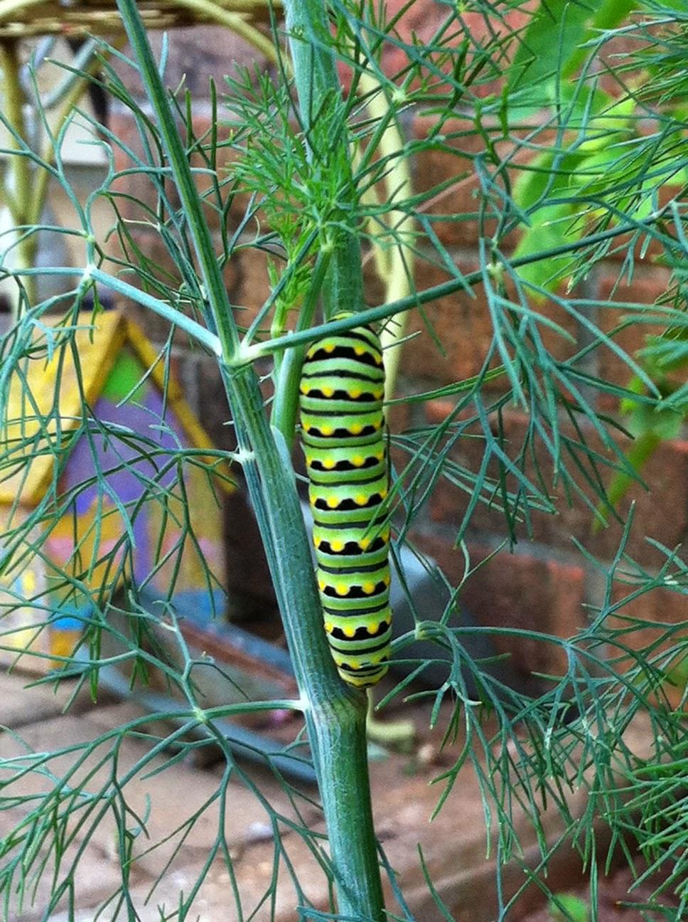 green yellow black caterpillar