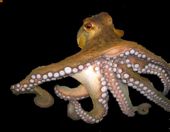 Gurita Laut
