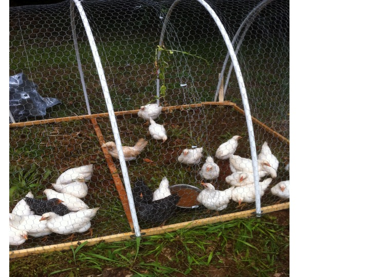 Tallah Farms Make A Easy Chicken Tractor