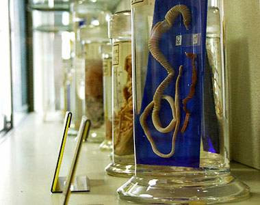 огромный червь-паразит ленточный цепень