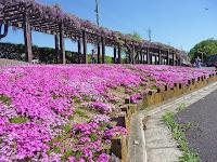 鳥羽下水処理場はフジの花の咲くころ、恒例の一般公開を開催している