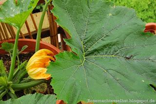 Zucchini selbst pflanzen Blüten Blätter