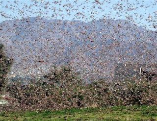Photo of a swarm of locusts.