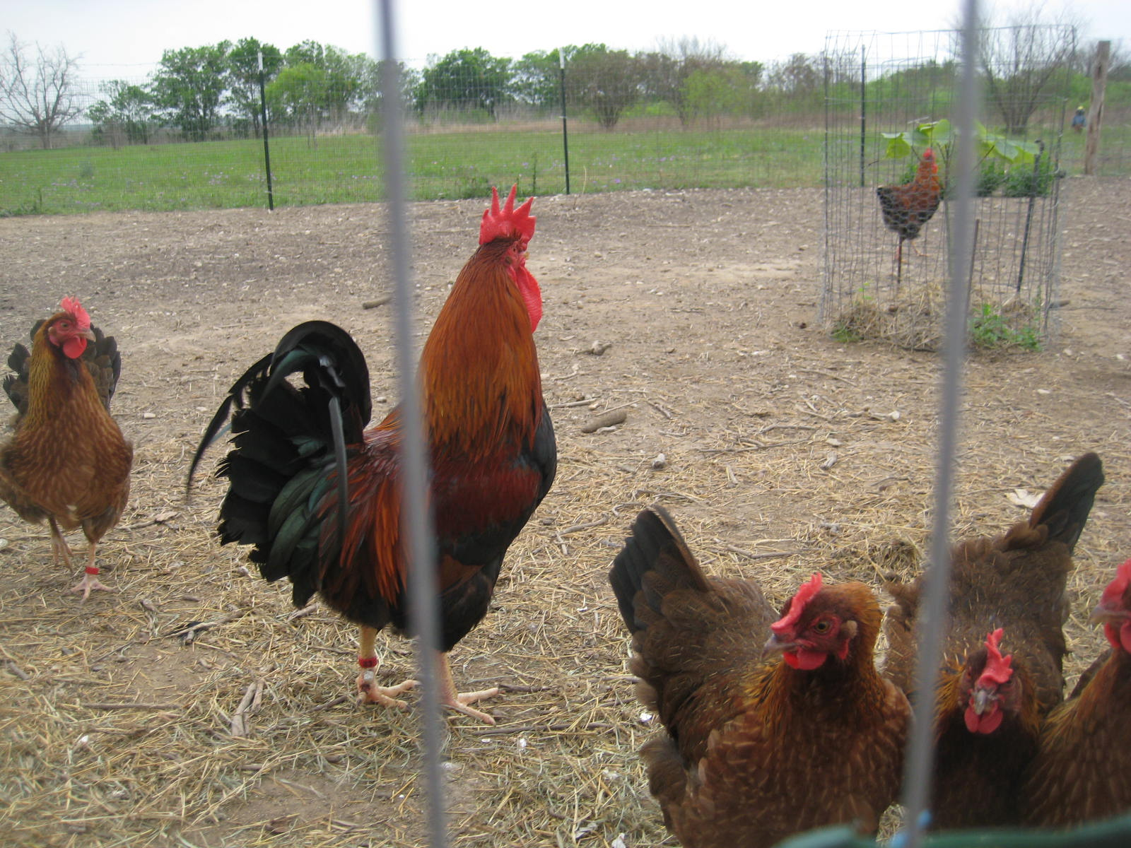 welsummer breeders facts