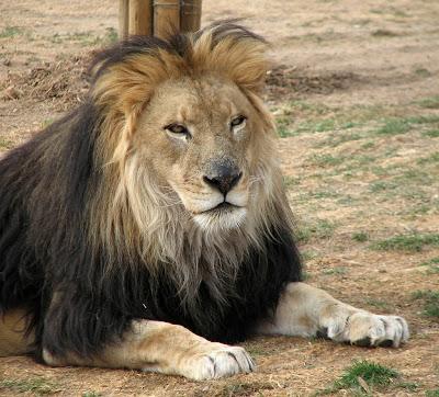 World Biggest Lion Eve...