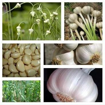 sarımsağın faydaları, sarımsağın yararları, sarımsak nelere faydalıdır