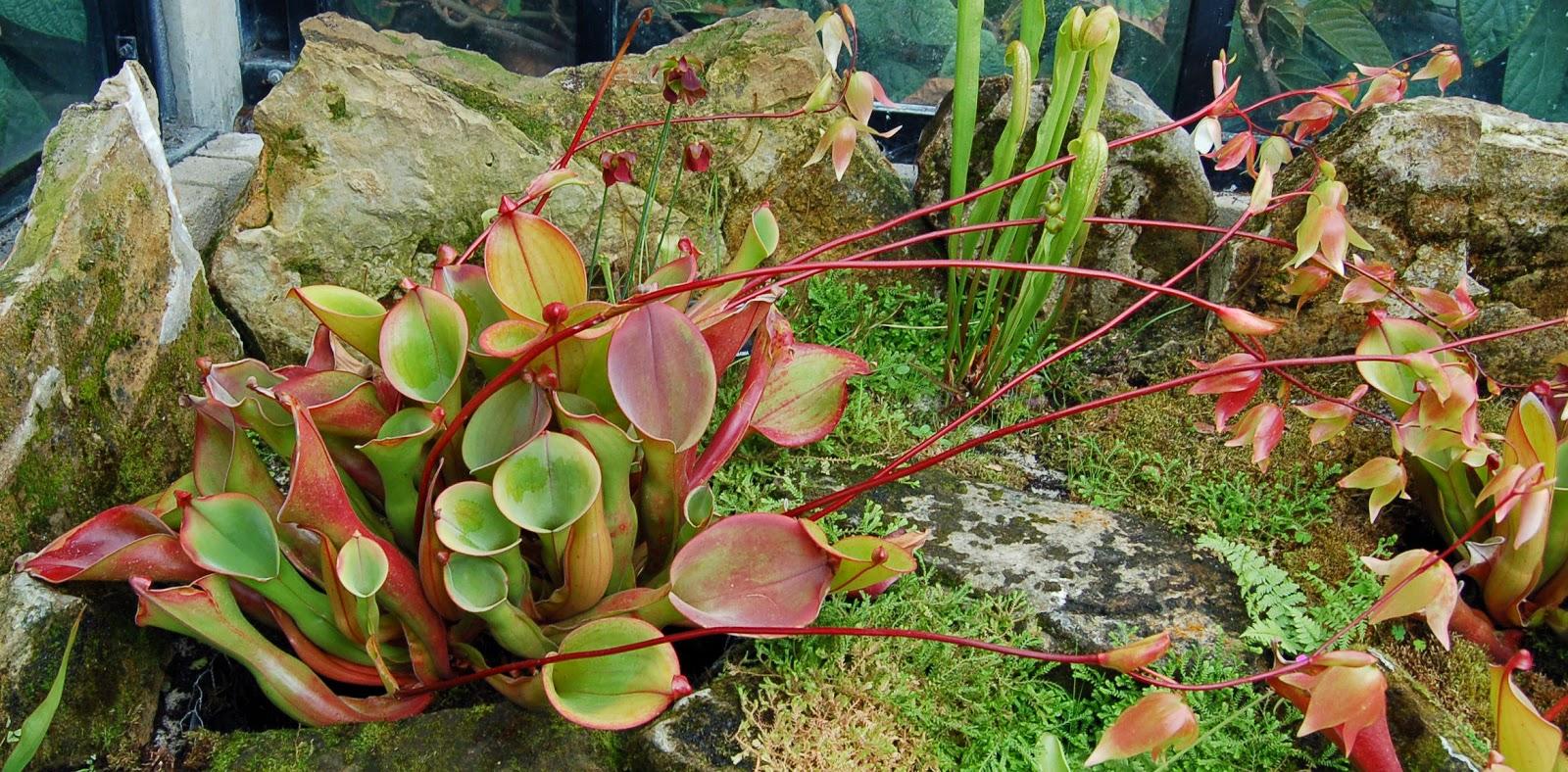 Plantas Carnívoras [MegaPost]