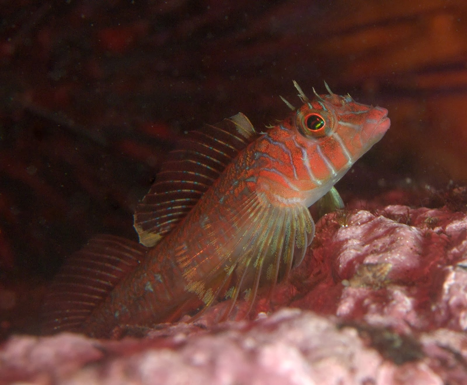 under pressure world: Longfin Sculpin- San Juan Islands, WA