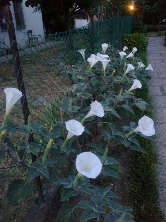 I fiori della Luna o della Notte