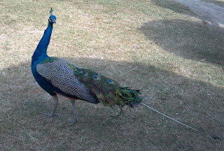 peacock hanging out on the grass