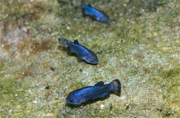 Ένα ψάρι 60000 ετών