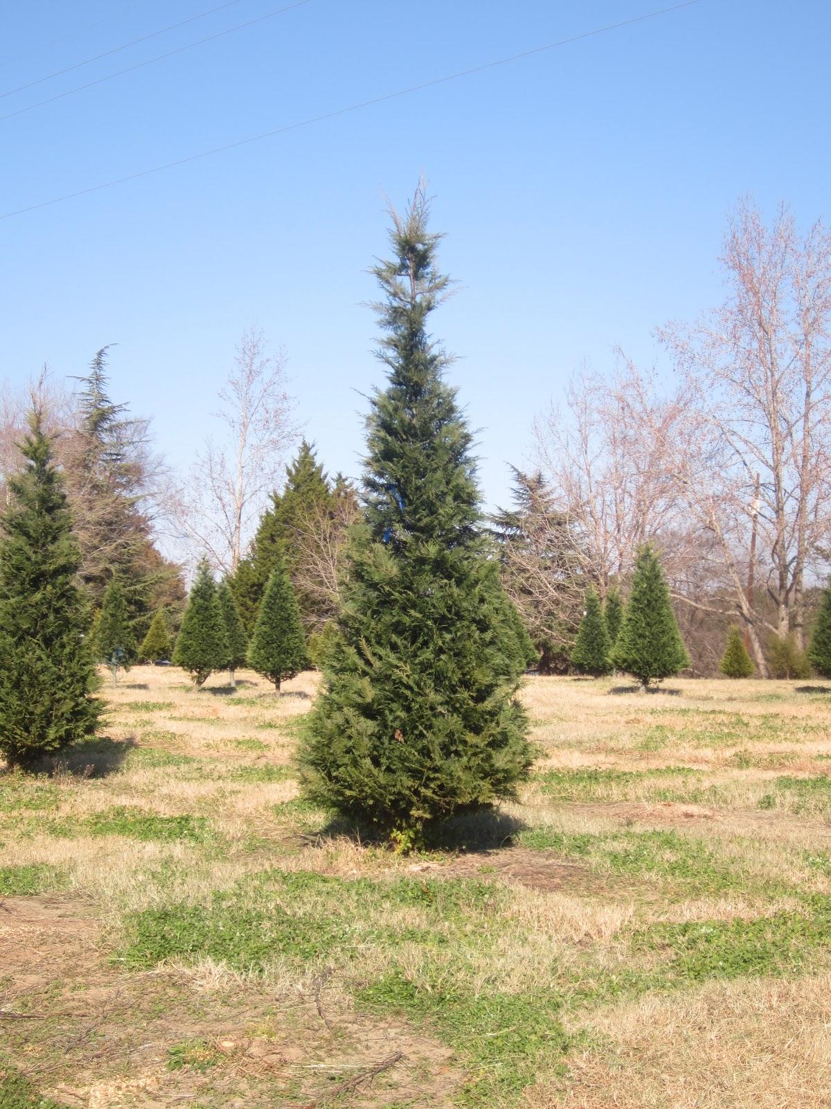 The Stir Crazy Moms' Guide to Durham: Jordan Lake Christmas Tree Farm