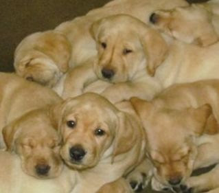 a pile of mostly sleeping yellow Lab pups