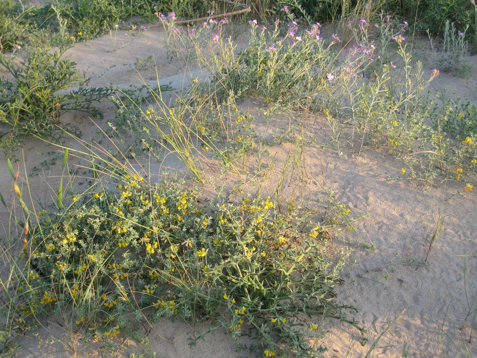 Vegetació dunar, platja de l'Ahuir
