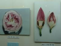 明治時代以降、68年間開花しない時期もあったが、世界的に有名なハス博士・故大賀一郎氏によって蘇り、今日に至っている