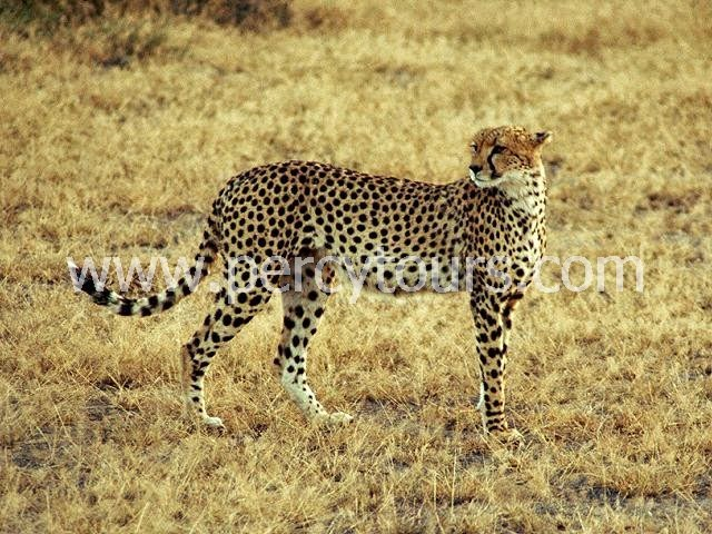 Cheetah on Safari near Cape Town