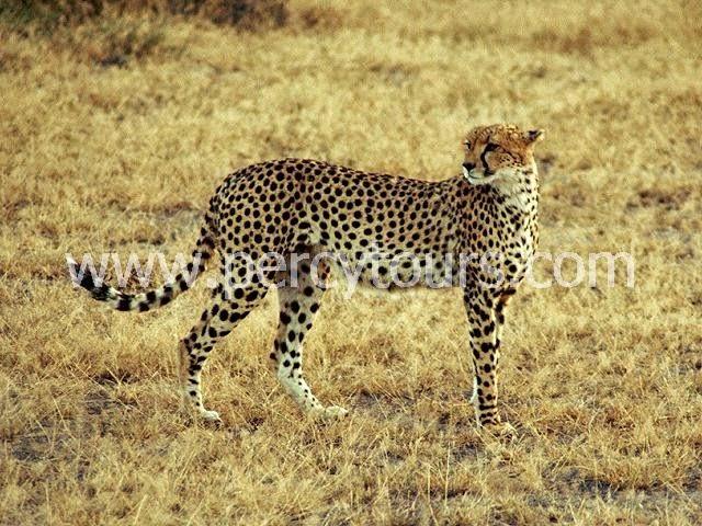 Cheetah on Safari near Cape Town