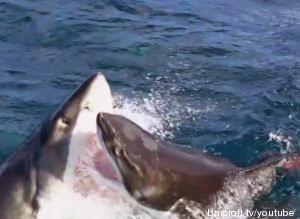 Combat de deux requins blancs. La vidéo est impressionnante, et les images suffisamment rares pour avoir été visionnées près de deux millions de fois sur YouTube.