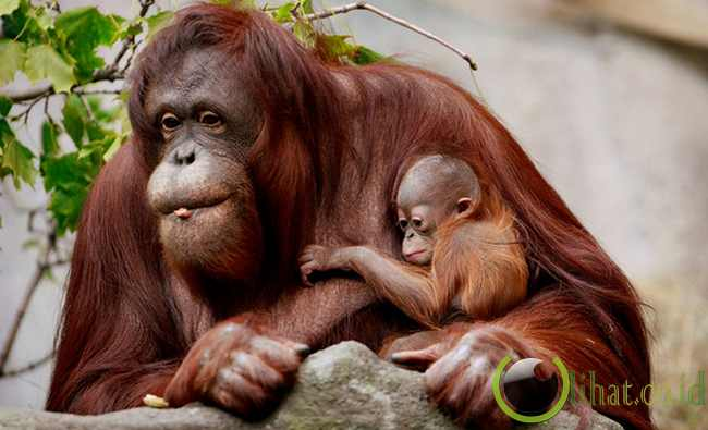 hewan jenis kera yang memiliki rambut lebih panjang daripada jenis