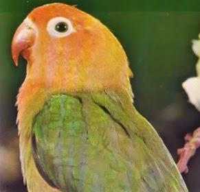 foto lovebird nyasa