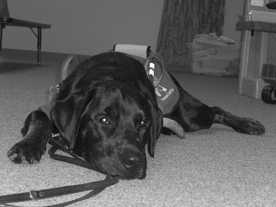 Black/white picture of Rudy in a down-stay in coat/harness at a meeting. He looks quite bored, but behaved very well!
