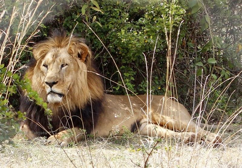 Ethiopian Lion
