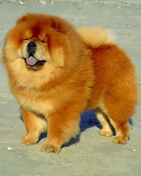 Animal do Mês - Chow Chow