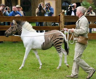 Eclyse Is The Most Unique Zebra Horse In The World