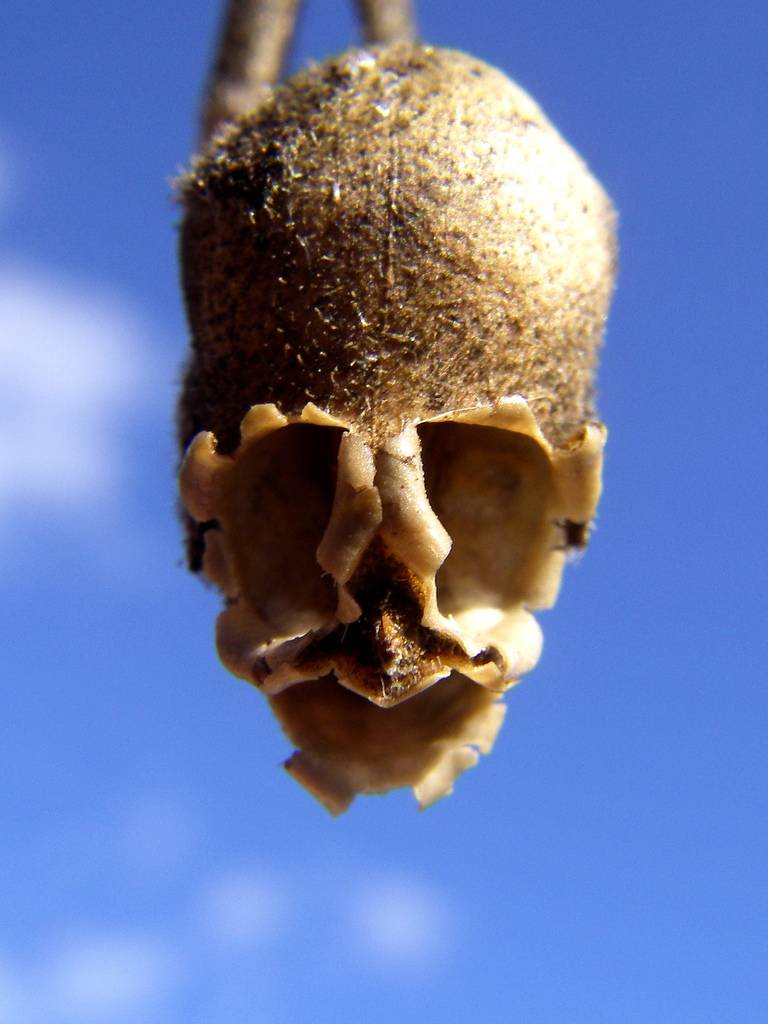 The Dragon S Skull The Macabre Appearance Of Snapdragon Seed Pods Kuriositas