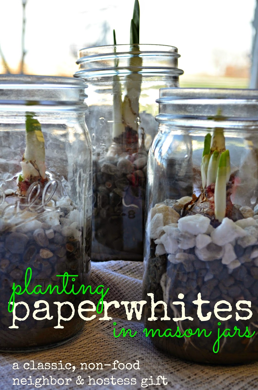 Neighbor Gift Idea: Paperwhites planted in Mason Jars
