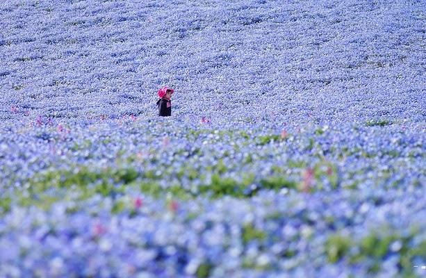 Fascinantes campos azules, no son de otro planeta son de aquí de la Tierra Azules8