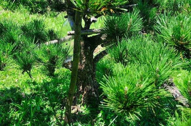 pinheiro negro, kuromatsu jardim, japones