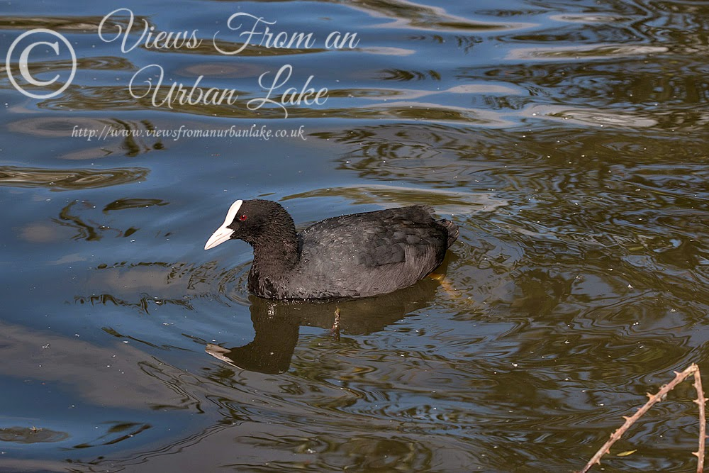 Coot - Lodge Lake, Milton Keynes