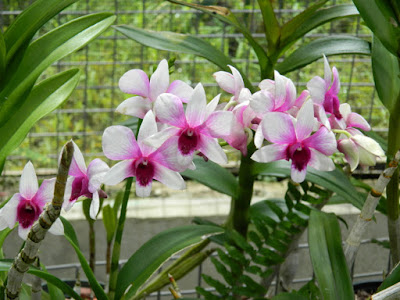 Dendrobium bigibbum Cooktown orchid at Orchid World Barbados by garden muses-not another Toronto gardening blog