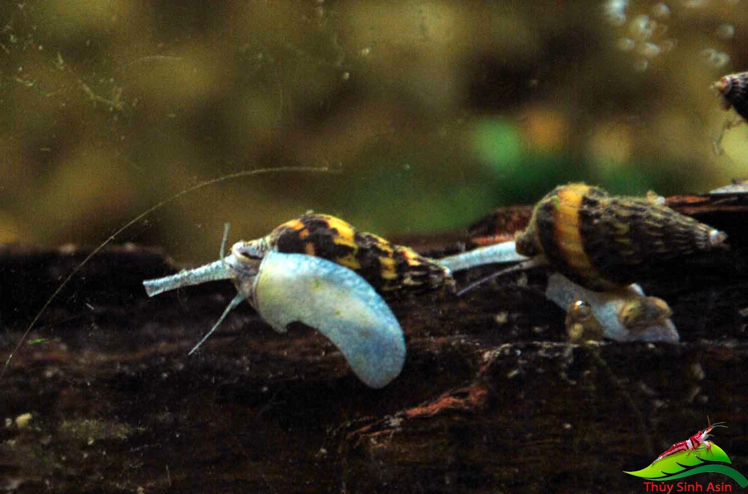 Ốc helena - Ốc ăn ốc thủy sinh trong mùa sinh sản