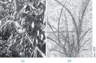 Daun bambu Daun rumput teki