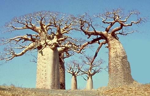 Arvorés milenares de Baobá