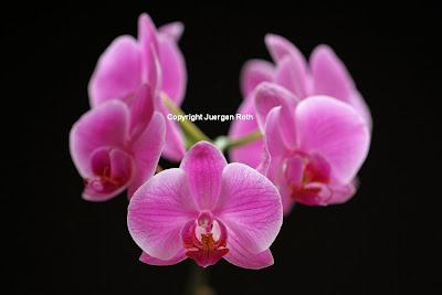 http://juergen-roth.artistwebsites.com/art/all/orchids+on+black/all