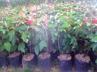 tanaman merambat pasiflora