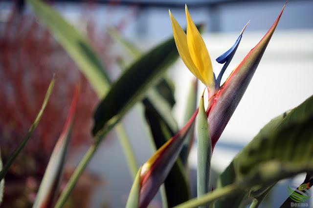 Strelitzia reginae / Gold Crest