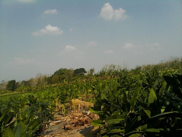 Harga Anjlok, Tanaman Tembakau di Ngrejeng Dibiarkan Mengering