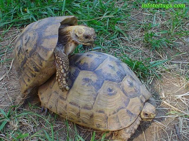 Dos tortugas moras durante la cópula