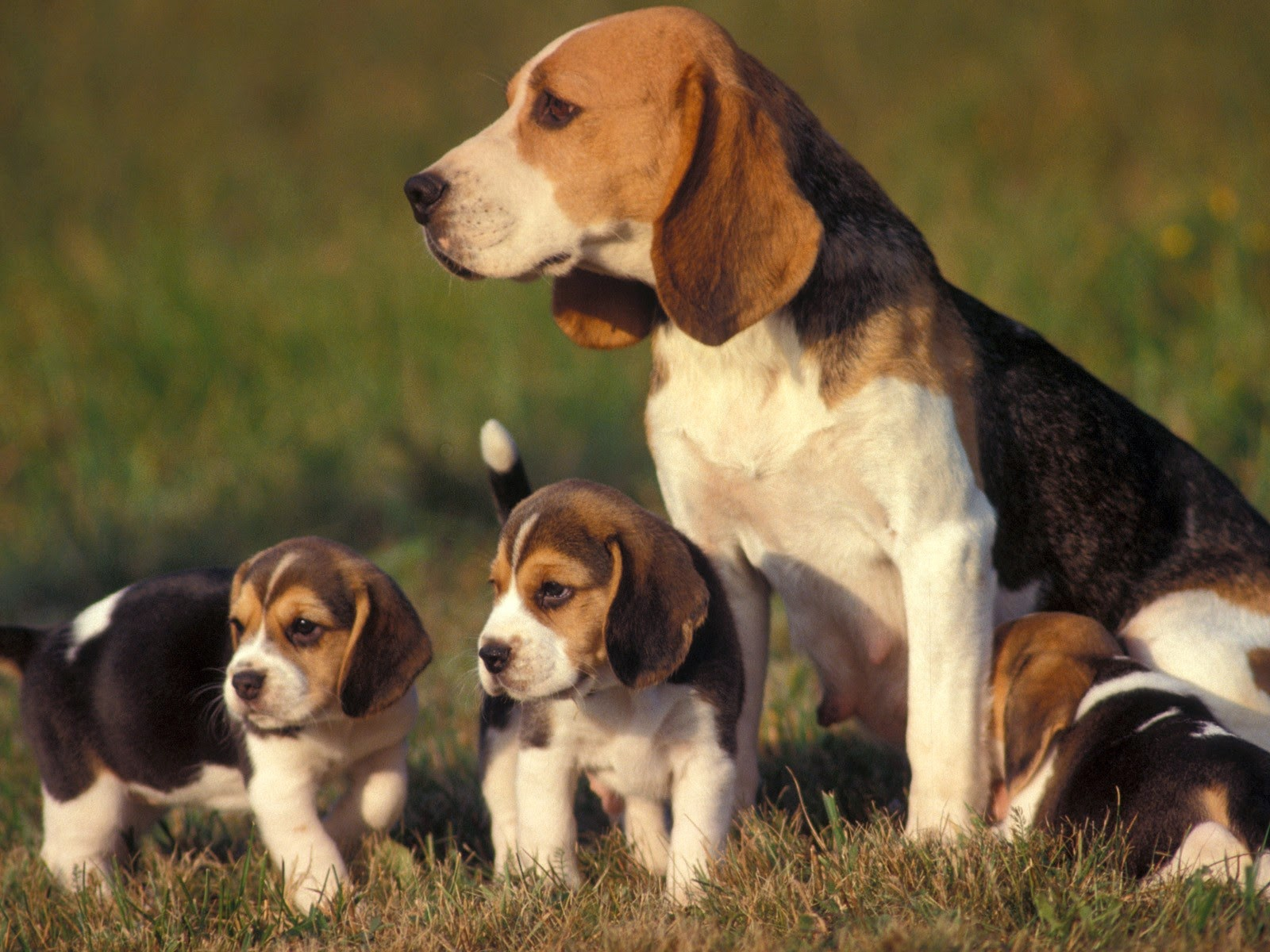 A Beagle Puppy Rules of the Ju...