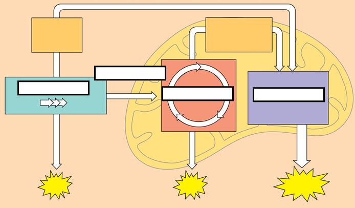 mike 39 s online biology mob university october 2012 : cellular respiration diagram labeled - findchart.co